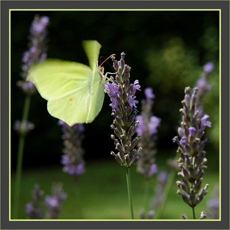 BLOG-DSC_0922-papillon en vol 3