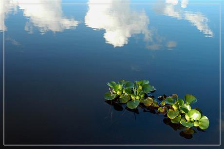 BLOG-DSC_2057-jacinthes d'eau étang du Teich