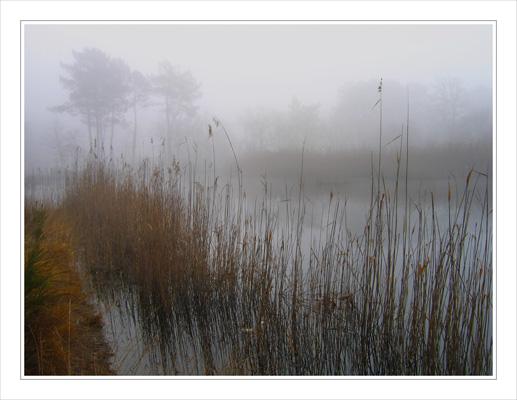 BLOG-IMG_2691-brume roseaux et pins étang