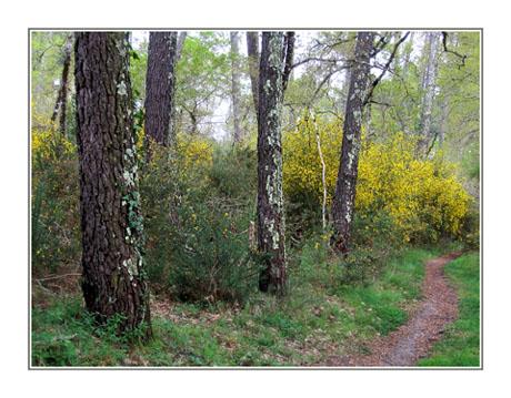 BLOG-IMG_0107-sentier forêt et genêts 2