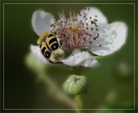 BLOG-DSC_2730-REC-abeille fleur blanche