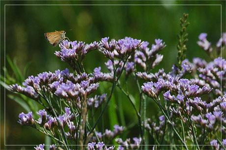 BLOG-DSC_3065-fleurs mauves et papillon sur littotal