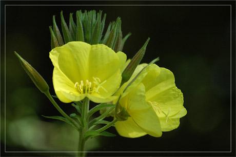 BLOG-DSC_3117-clochettes jaunes