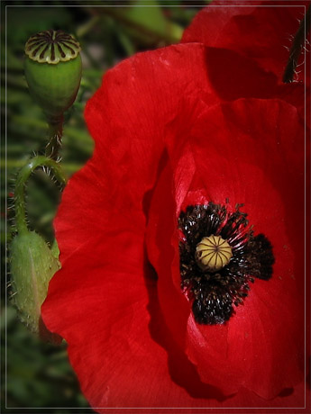BLOG-IMG_0224-gros plan coquelicot