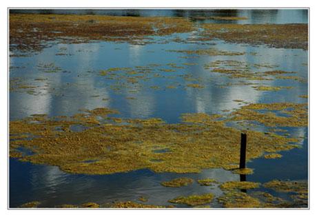 BLOG-DSC_1647-algues jaunes