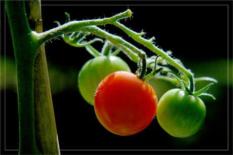 BLOG-DSC_3774-grappe tomates-cerises