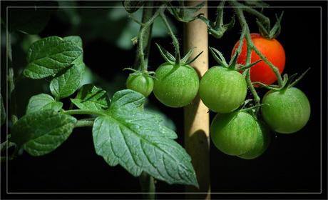 BLOG-DSC_3775-tuteur et grappe tomates-cerises