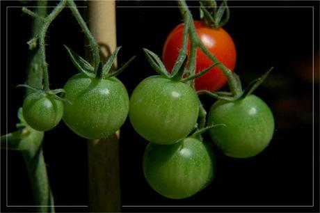 BLOG-DSC_3783-tuteur et grappe tomates-cerises