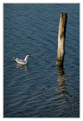 BLOG-DSC_4002-mouette sur l'eau