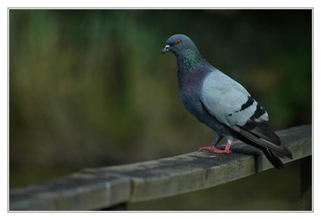 BLOG-DSC_4616-pigeon sur le pont