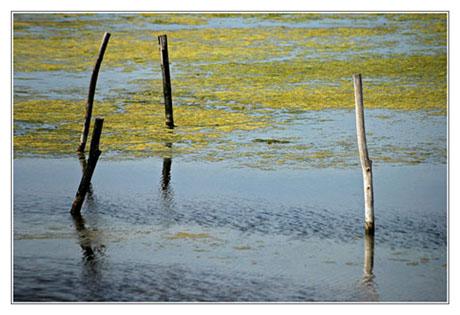 BLOG-DSC_8313-algues jaunes et piquets