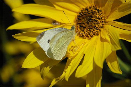 BLOG-DSC_4883-papillon et pétales jaunes