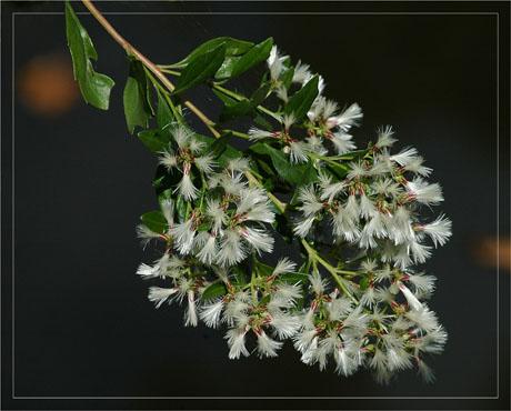 BLOG-DSC_5096-baccharis en fleurs