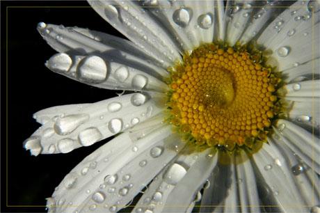 BLOG-DSC_3477-coeur marguerite et gouttes d'eau
