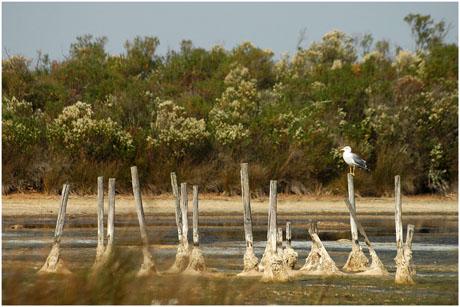 BLOG-DSC_5410-goéland piquets lagune asséchée
