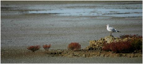 BLOG-DSC_5419-mouette lagune asséchée