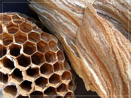 BLOG-IMG_0792-alvéoles et enveloppe nid frelons