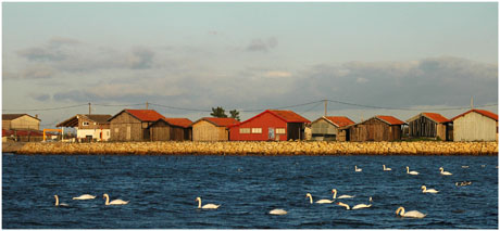 BLOG-DSC_5958-cygnes entre ports Larros et Gujan
