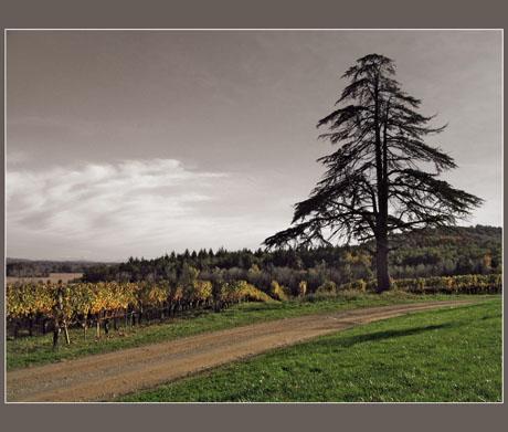 BLOG-IMG_0877-cèdre vigne Montus plaine Bigorre effet couleur