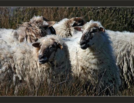 BLOG-DSC_8285-moutons du parc