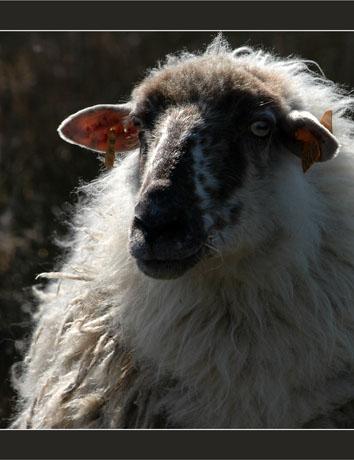 BLOG-DSC_8286-mouton parc