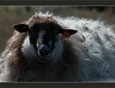 BLOG-DSC_8289-mouton parc