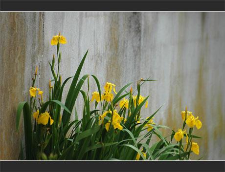 BLOG-DSC_9639-iris jaunes mur théâtre