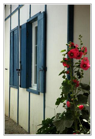 BLOG-DSC_7635-rose trémière Piraillan