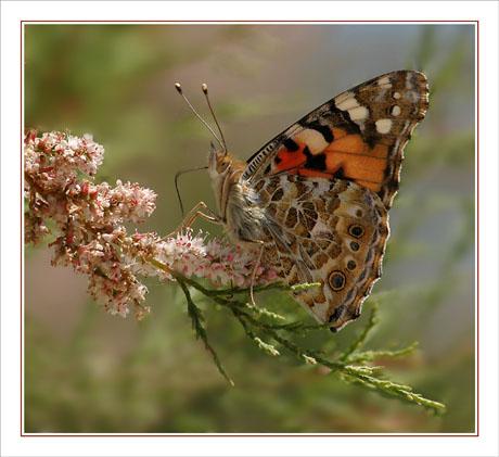 BLOG-DSC_9752-papillon sur tamaris Audenge