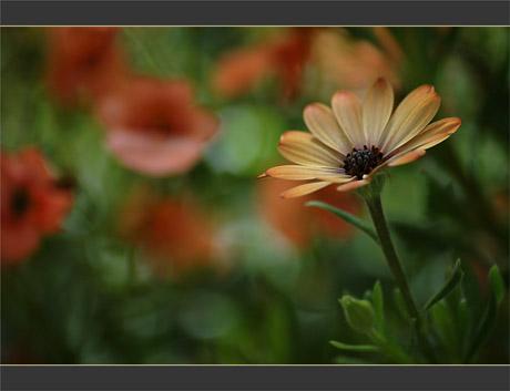 BLOG-DSC_0225-ostéospermum fond fleuri