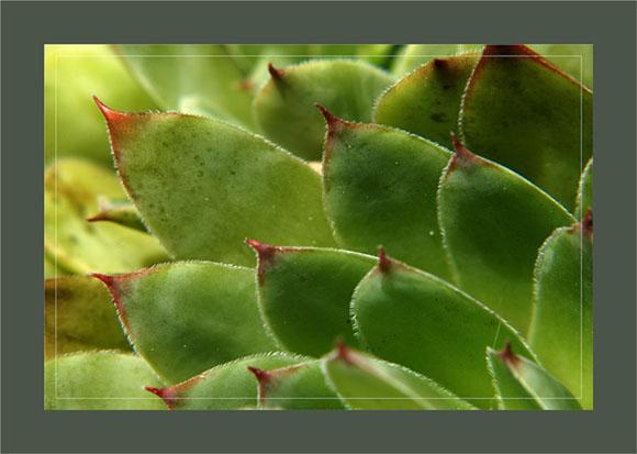 BLOG-DSC_0365-feuilles joubarbe artichaut murailles