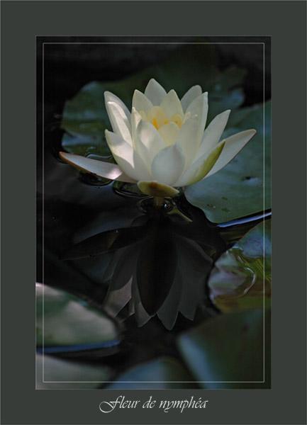 BLOG-DSC_0655-fleur nymphéa
