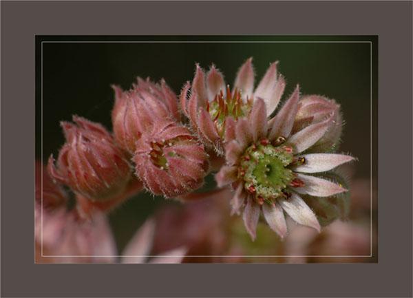 BLOG-DSC_0887-fleur joubarbe cadre