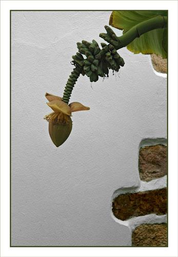BLOG-DSC_0951-bananier Aïnhoa