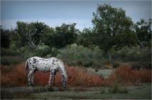 BLOG-DSC_1017-appaloosa plaines du Teich