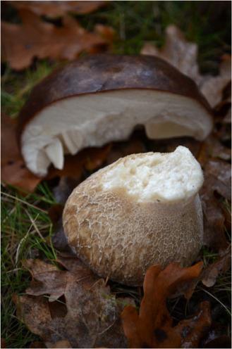 BLOG-DSC_09965-pied et demi chapeau cèpe volé par écureuil