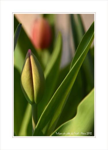 BLOG-DSC_13348-2 tulipes 1ère nette CB