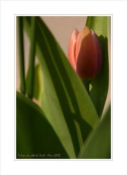 BLOG-DSC_13349-tulipe et ombres feuilles CB