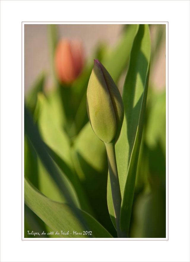 BLOG-DSC_13350-bouton et tulipe CB
