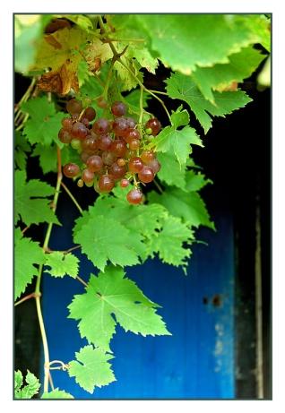 CP-DSC_2220-grappe