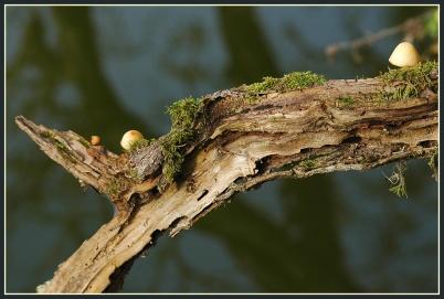 CP-DSC_4182-vieille branche & 2 champignons