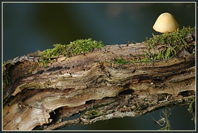 CP-DSC_4185-champignon sur bois
