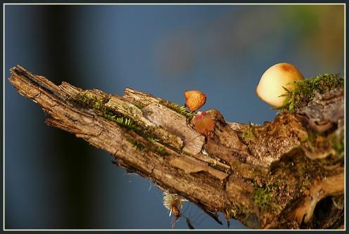 CP-DSC_4188-petits champignons