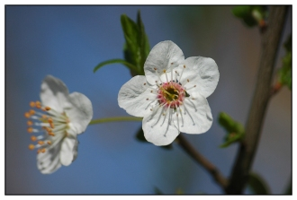 CP-DSC_5134-fleurs blanches