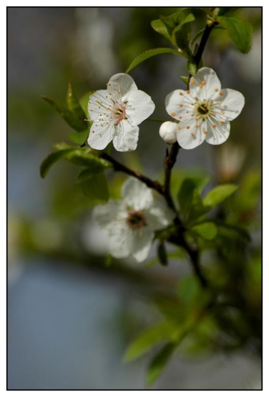 CP-DSC_5225-fleurs blanches