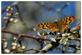 CP-DSC_5250-papillon & fleurs