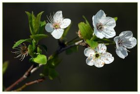 CP-DSC_5268-branche fleurie