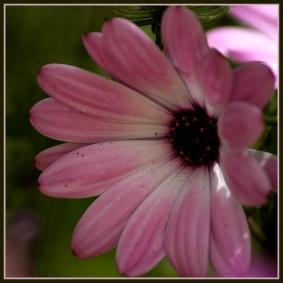 CP-DSC_6244-coeur marguerite rose