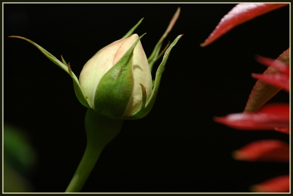 CP-DSC_6272-rose & piéris