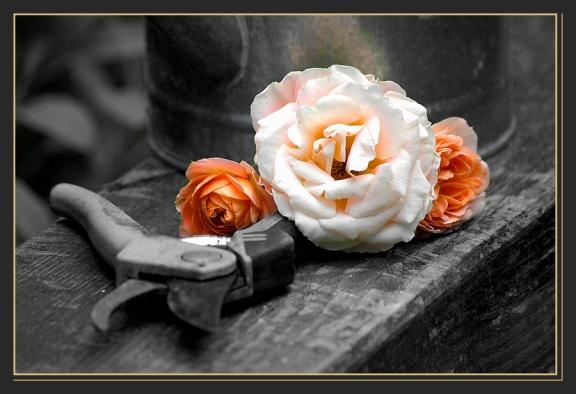 CP-DSC_6367-roses & sécateur couleur N&B
